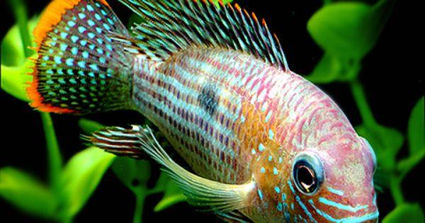 Cichlids, Fish aquariums and Aquarium on Pinterest