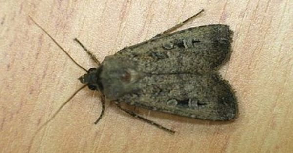 How To Get Rid Of Moths In Your Home Moth