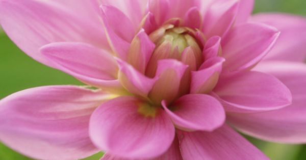 Dahlia X Bluesette Park Dahlia Close Up Of Pink Flower Floral Artwork Pink Flowers Photographic Print