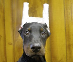 How To Post And Tape Your New Doberman Pincher S Ears Kimbertal
