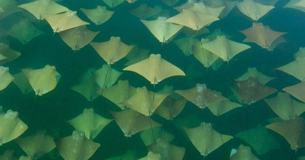 I love stingrays! Golden Ray Migration by Sandra Critelli: The Gulf of