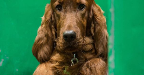 Weird And Wonderful Photos From Crufts 2019 Irish Setter Dogs