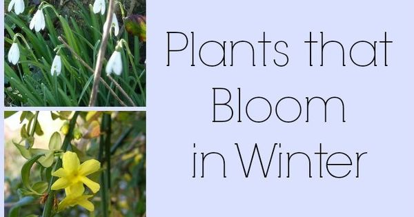 8 Plants That Bloom In Winter Plants And Winter