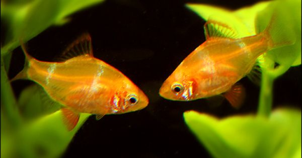 Gold Tiger Barb Note Keep Only With Other Barbs Or Gouramis Aquarium Fish Tropical Fish Fish Plants