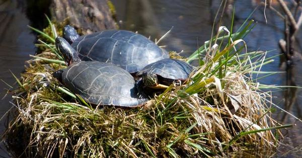 Everything You Need to Know About Box Turtle Hibernation Everything ...