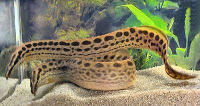 Black Spotted Eel Tropical Fish Aquarium Tropical Freshwater Fish Aquarium Fish