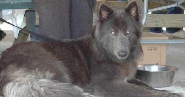 Pin By Zayn Wolf On Shepherd Blue German Shepherd Blue Bay Shepherd Puppies