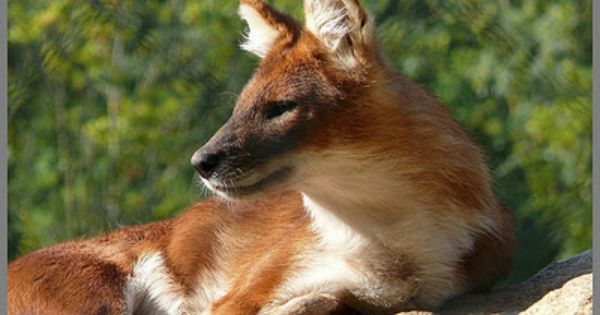 16 best dholes images on Pinterest Wild dogs Animals and Html