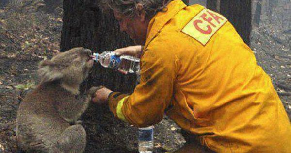Giving A Drink To A Thirsty Koala Bear Aaa Most