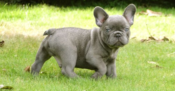 Blue Frenchie I M In Love Frenchie Love Pinterest