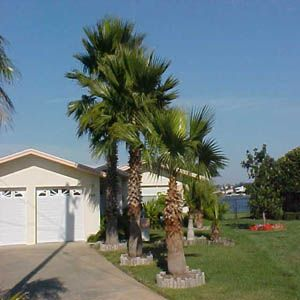 Pin By Liberty Landscape Supply On Washingtonia Robusta Palm Tree Types Palm Trees Palm Trees Garden