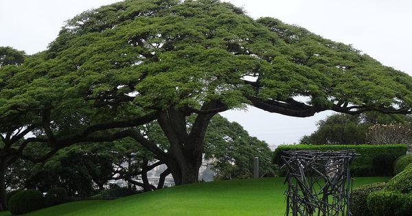 Resultado de imagen de arboles maderables cedro oto o - Arce arbol variedades ...