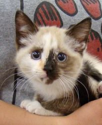 Must Have Cuddly Animals Kittens Cutest Snowshoe Cat