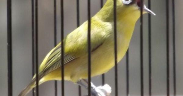 Macam Macam Jenis Burung Pleci Burung Gacor Bird Animals Parrot