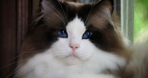 Ragdoll Kittens Cats By Willow Tree Rags Ragdoll Cattery Our