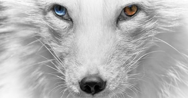 Polarfuchs By Rene Unger Thank You Rene Animaux Yeux
