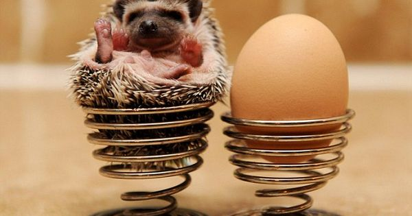 African Pygmy Hedgehog - the must-have pet - Mirror Online
