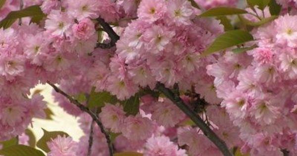 Description Of Ornamental Plants Ehow Flowering Trees Ornamental Plants Ornamental Trees