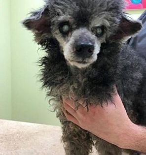 New York Ny Ben Is A Senior Miniature Poodle For Adoption Who