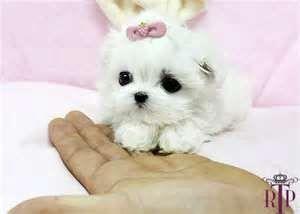 Shih Tzu Puppies Teacup Puppies Teacup Puppies Maltese