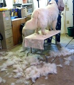 Great Pyrenees Club Of America Grooming The Great Pyrenees