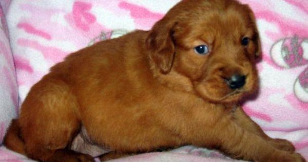 Cinnimin Chester Puppies Red Golden Retriever Puppies Akc Dark