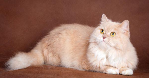 7 Rare Cat Coat Colors Rare Cats Tabby Cat Cats