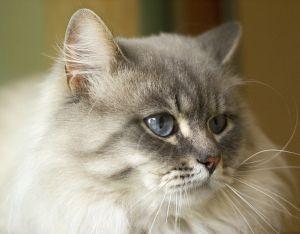 Siberian Cat Info Siberian Cat Cat Breeds Siberian Forest Cat