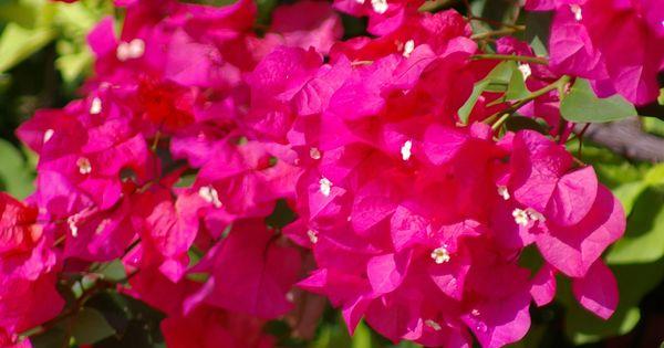 #Zambia's national flower # symbolism of beauty. # Love it ...