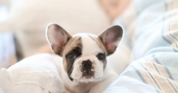 French bull dogs- cutest dog ever puppy frenchbulldog
