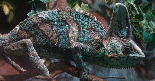 This Photo Of A Chameleon Is A Great Example Of Camouflage In Nature Chameleons Change The Colors And Patterns On Thei Nature Projects Camouflage Prey Animals