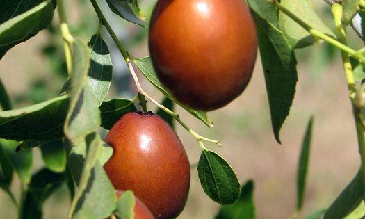 ripe jujube fruit commonly called chinese dates frukt pinterest frukt. Black Bedroom Furniture Sets. Home Design Ideas