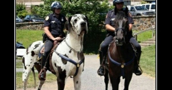great dane vs horse dogs pinterest horse and animal