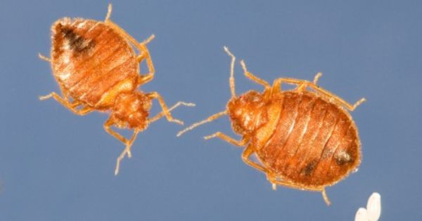 Household Remedy In 2020 Rid Of Bed Bugs Bed Bug Remedies Bed Bugs