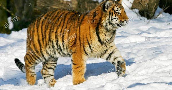 Pin By Shae Moreno On Echo Siberian Tiger Tiger Panthera