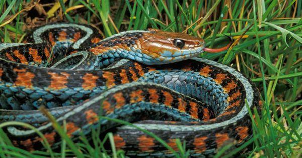 California Red Sided Garter Snake Point Reyes National Seashore