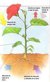 2 La Nutricion De Las Plantas 2 1 La Entrada De Nutrientes Los Nutrientes Entran A La Planta P Plantas Ciencias De La Naturaleza Actividades Escolares