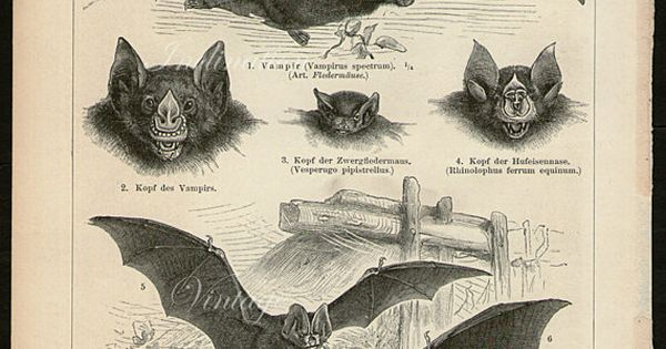 Antique Print Bats Chart Ii1894 Vampire Bat Beautiful