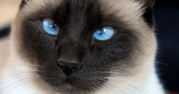 Buy Siamese Kitten Florida Half Siamese And Himalayan Cats
