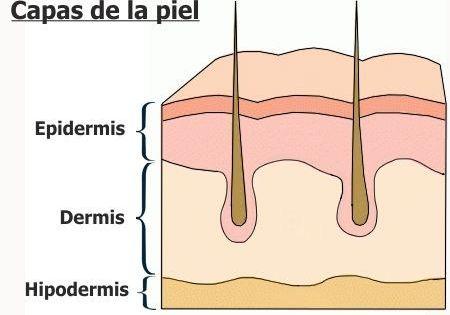 Capas De La Piel Y Sus Caracteristicas Anatomia De La Piel Capas De La Piel Tejidos Del Cuerpo Humano