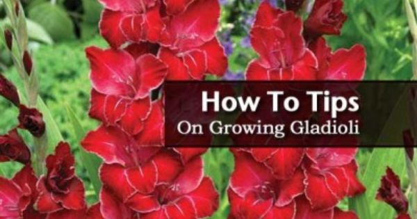How To Tips On Digging Planting And Growing Gladiolus Bulbs Gladiolus Bulbs Gladiolus Flower Bulbs Garden