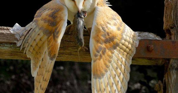 Barn owl 'Mantling' to hide it's fresh prey... by Sue Edwards.