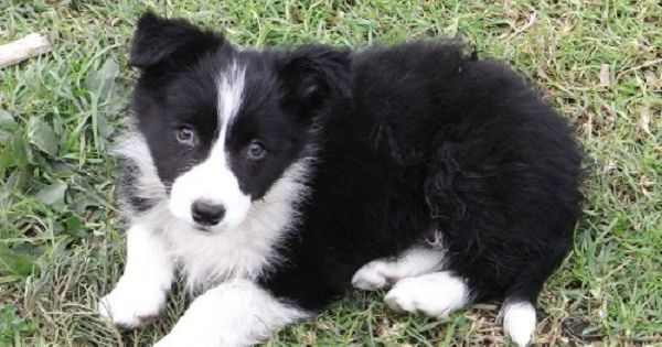 border collie puppies for sale perth Zoe Fans Blog