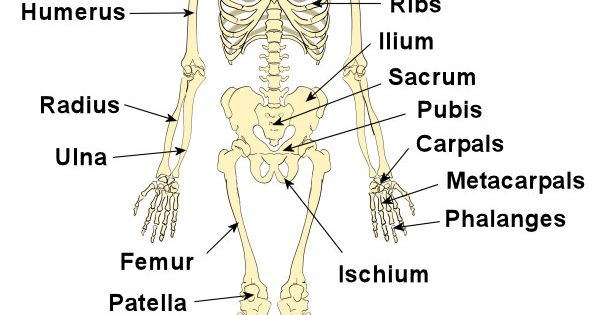 Diagram Of Every Human Bone