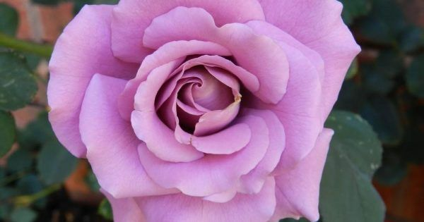 When Should I Prune My Roses Bless My Weeds Get Rid Of Dandelions Rose Pruning Roses