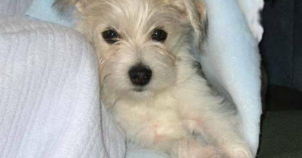 Italian Greyhuahua Italian Greyhound Chihuahua Mix Info Puppies