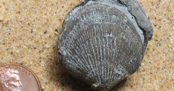 Brachiopod Fossils Are Signifcant Fossil