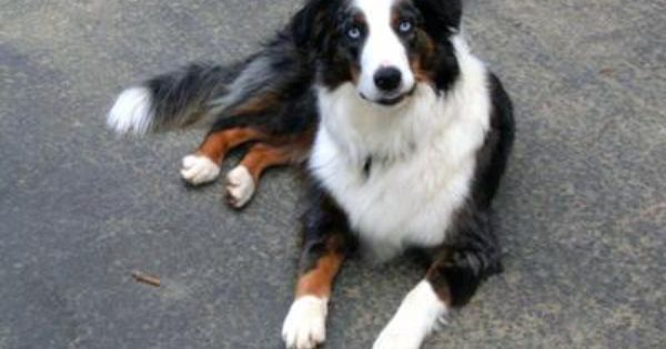 Image From Http Www Australian Shepherd Lovers Com Images Purebred Or Half Border Collie 21575974 Jpg Collie Border Collie Pets