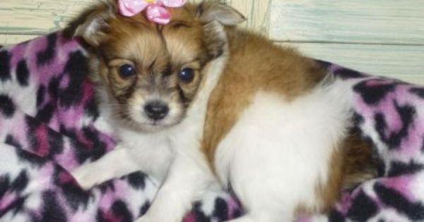 Chihuahua Long Hair Females Too Precious See The New Mocha S And