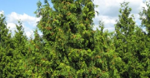 Chamaecyparis nootkatensis 39 pendula 39 weeping alaskan for Small sized evergreen trees